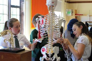 Pupils explore anatomy using a model skeleton